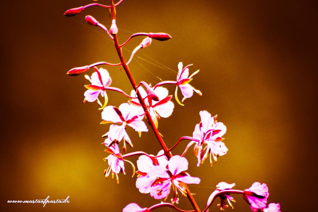 Harz-Sommer-Blumen